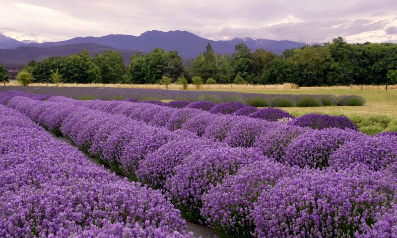 Lavender Farm in Sequim Washington