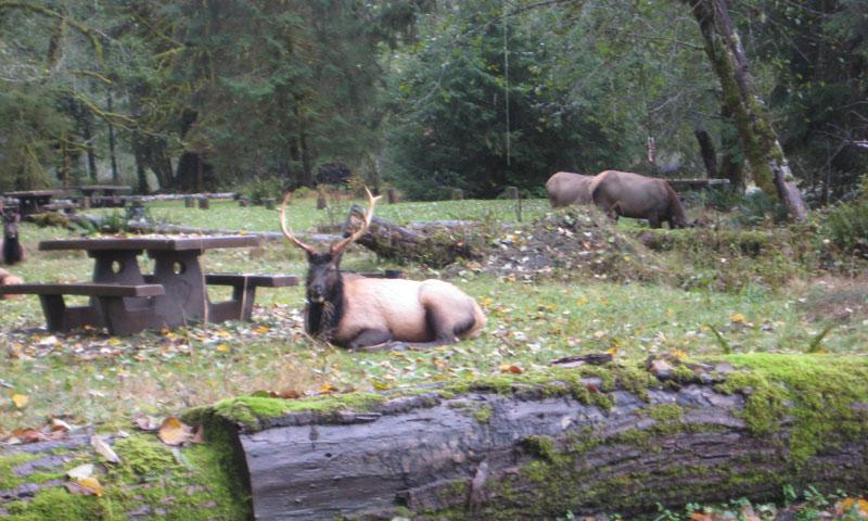 Elk in Hoh Campground in Olympic National Park