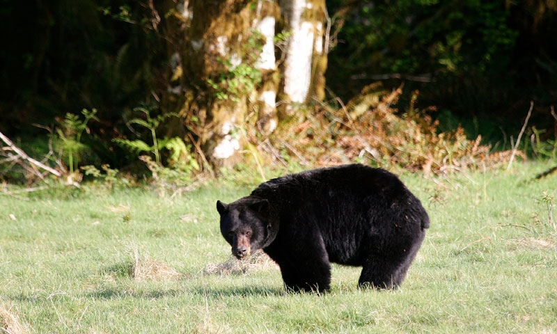 Black Bear in Olympic National Park