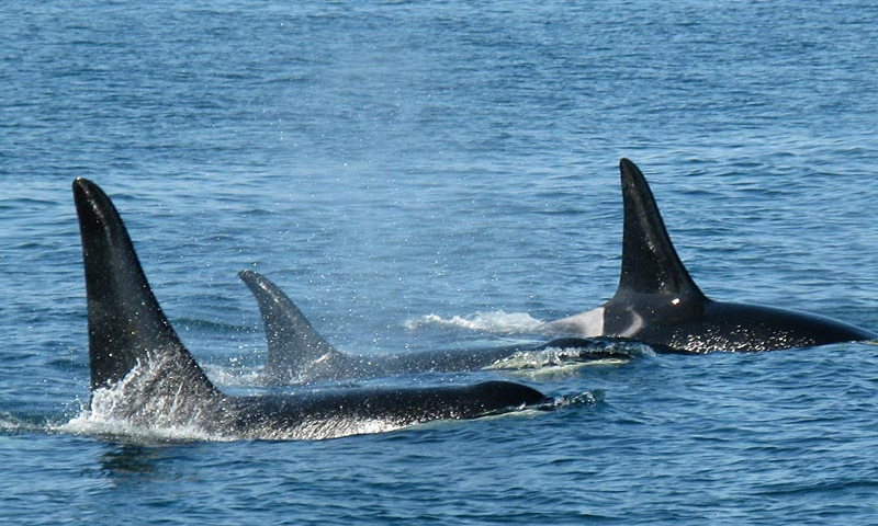 Port Angeles Whale Watching Olympic Peninsula Tours Alltrips