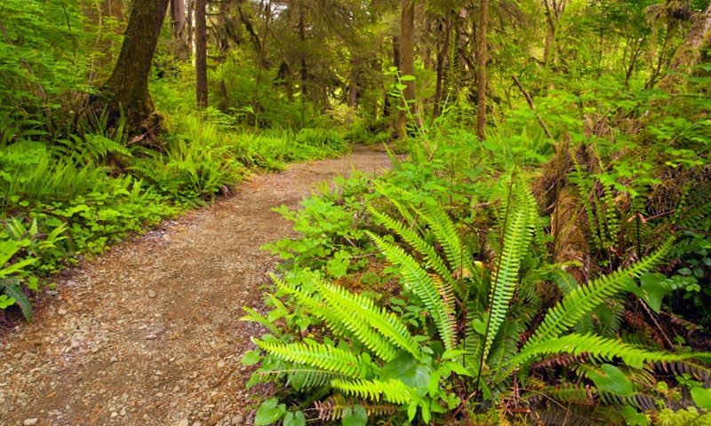Hiking Trail through the Quinault Rainforest in Olympic National Park