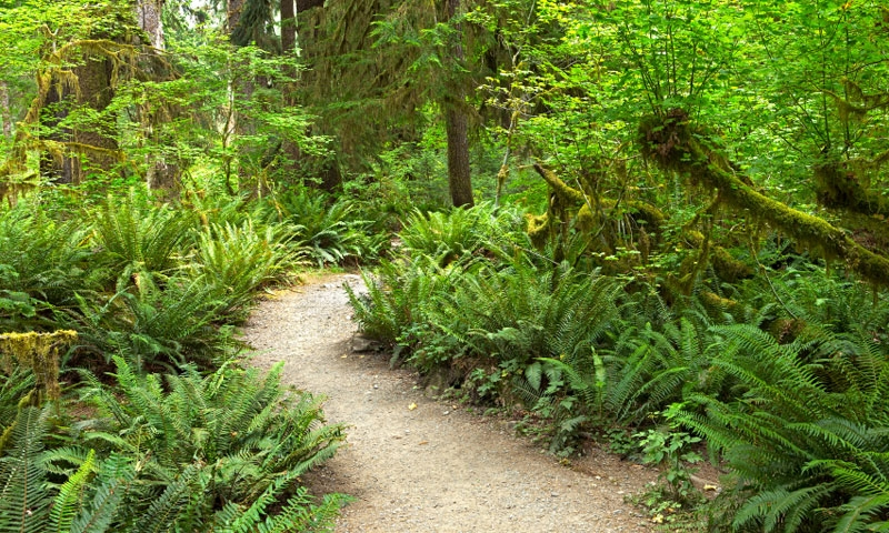 Hiking Trail in the Hoh Rainforest