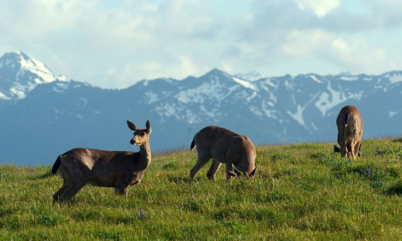 Deer grazing on Hurricane Ridge in Olympic National Park