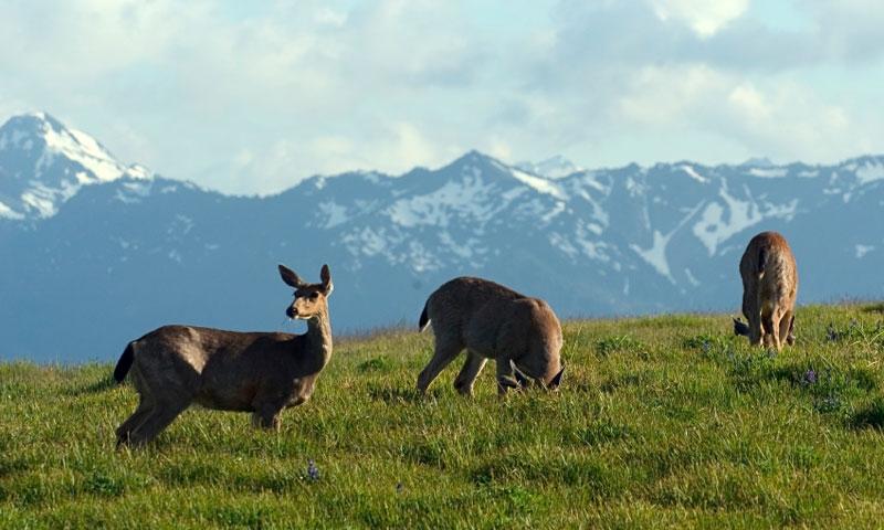 Deer grazing on Hurricane Ridge in Olympic National Park